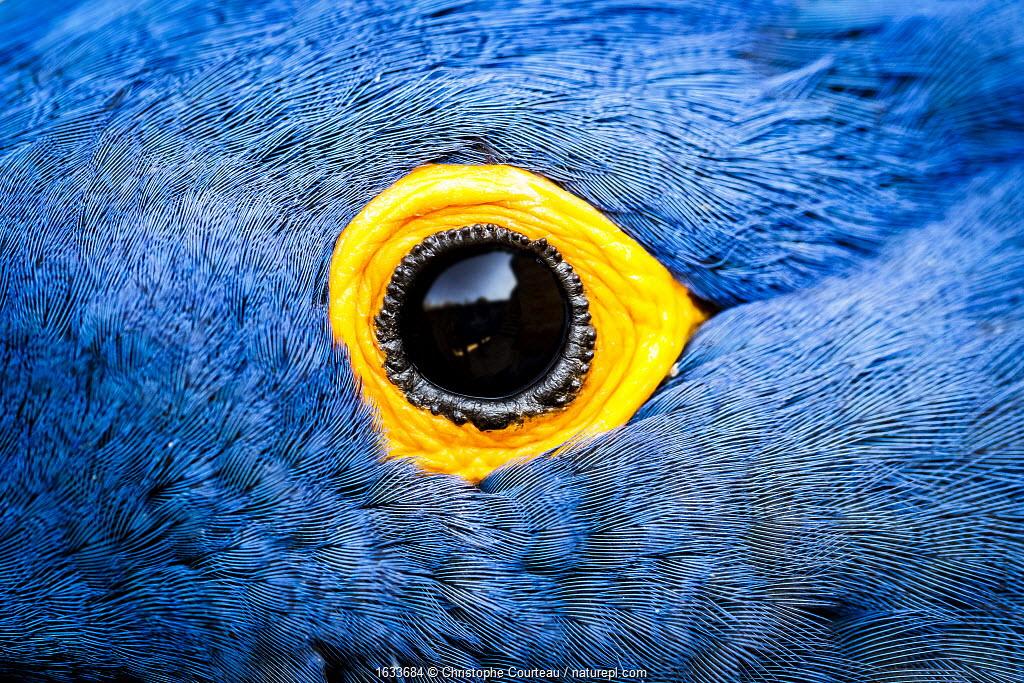 Hyacinth macaw (Anodorhynchus hyacinthinus), close up of eye. Bioparc Doue-la-Fontaine, France. Native to Brazil. Captive.