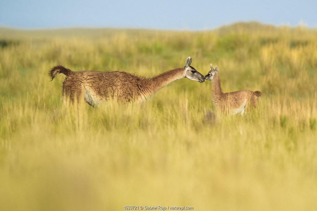 Guanaco (Lama guanicoe) female and newborn baby, nose to nose in grassland. La Pampa Province, Argentina.