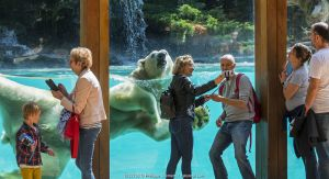 Visitors taking selfies with smartphones with Polar bear (Ursus maritimus) swimming in background. Zoo de la Fleche, Sarthe, Pays de la Loire, France. 2019