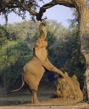 Elephant (Loxodonta africana) reaching up on back legs to feed on tree, front legs on termite mound. Mana Pools National Park, Zimbabwe.