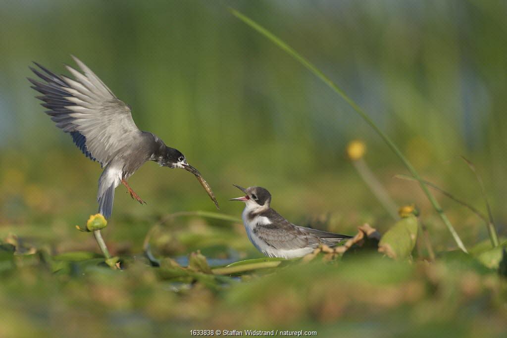 Black tern (Chlidonias nigra) feeding chick on floating vegetation. Nemunas Delta Nature Reserve, Lithuania. July.