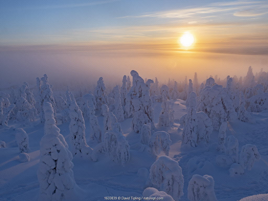 Spruce (Picea sp) trees in forest, cloaked in crown snow, with sun low in sky, Ruka Peak, Kuusamo, Finland. January 2019.
