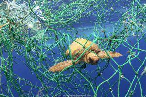 Loggerhead turtle (Caretta caretta) tangled in fishing net. Tenerife, Canary Islands. 2019.