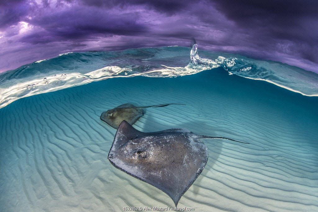Southern stingray (Dasyatis americana) two swimming over sand bar, under stormy sky. Grand Cayman, Cayman Islands. British West Indies.