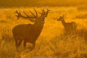 Red deer (Cervus elaphus) stag bellowing during rut in grassland, doe in background.