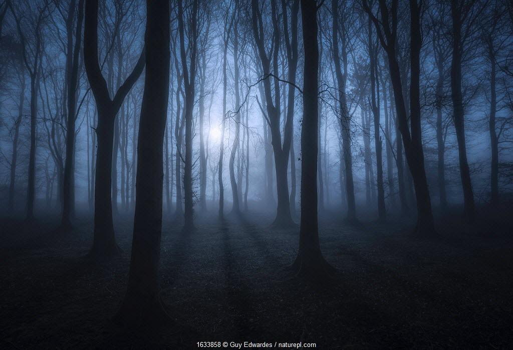 Beech (Fagus sylvatica) woodland in moonlight. Cranborne Chase, Dorset, England, UK. March 2019.