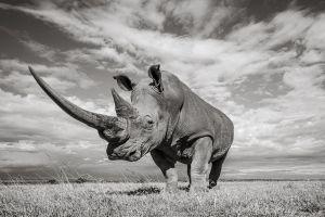 White rhino (Ceratotherium simum), portrait. Solio Game Reserve, Solio Ranch, Kenya. Taken with remote camera buggy / BeetleCam