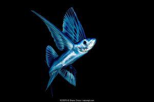 Flying fish (Exocoetidae) in Sargasso Sea, Atlantic Ocean.