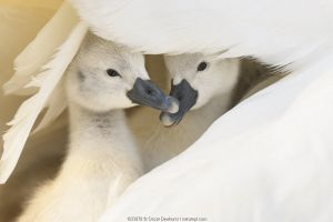 Mute swan (Cygnus olor), two cygnets sheltering under parent's wing. Richmond Park, London, England, UK. April. Cropped image.