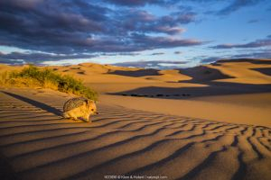 Long-eared hedgehog (Hemiechinus auritus) on dune bordering the Gobi Desert at sunset. Mongolia.
