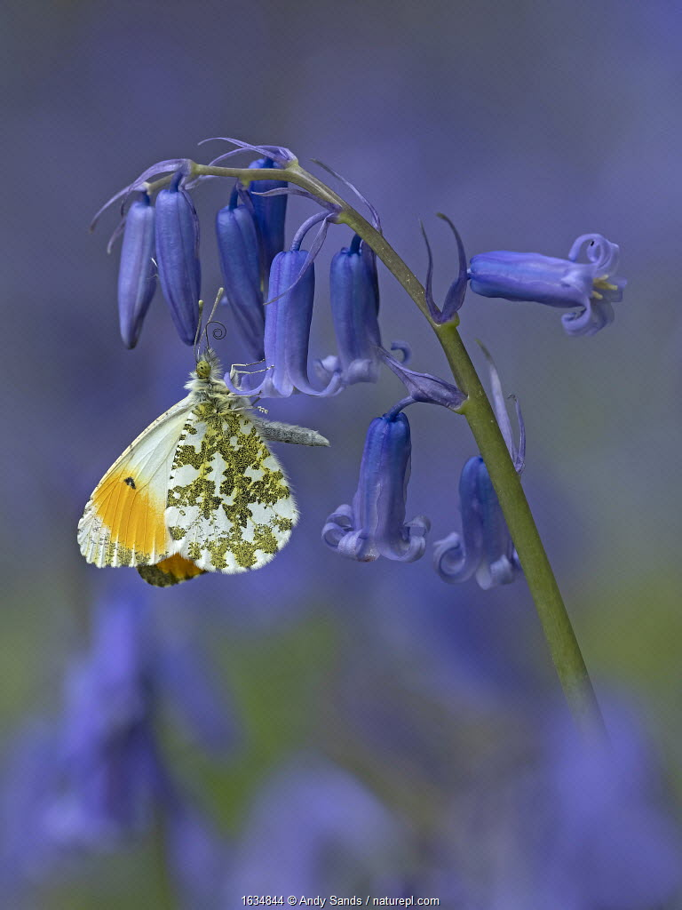 Orange tip butterfly (Anthocharis cardamines) on bluebell flower in English woodland, Hertfordshire, England, UK, April.