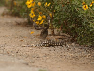 """Two male Southern Pacific rattlesnakes (Crotalus oreganus helleri) fighting during mating season. This behaviour is known as a """"combat dance"""", and is used to determine dominance and the right to mate with a nearby female, Southern California, USA, March."""