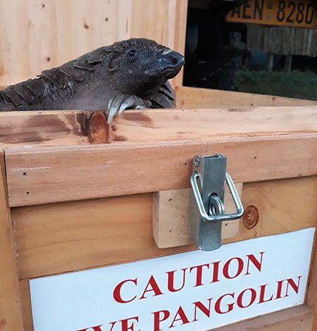 Pangolin peeking out of transportation box