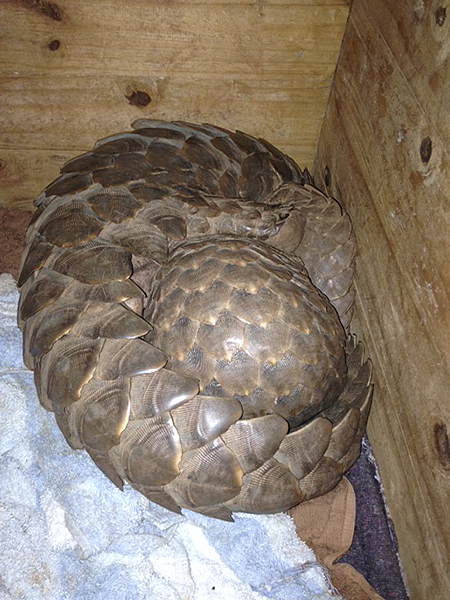 Pangolin being transported in pangolin box