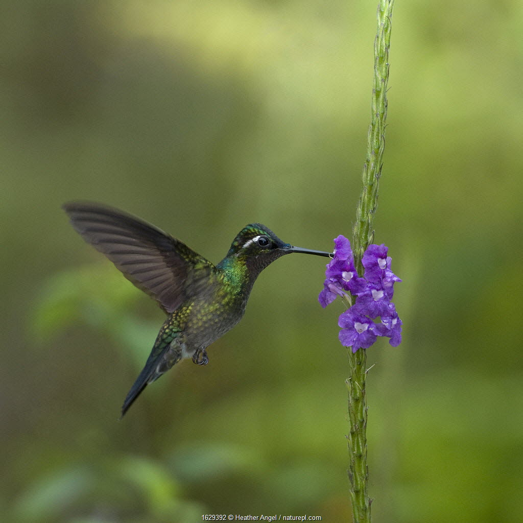 Purple throated mountain gem hummingbird (Lampornis calolaemus) hovering as it nectars on Porterweed (Stachytarpheta frantzii). Costa Rica.