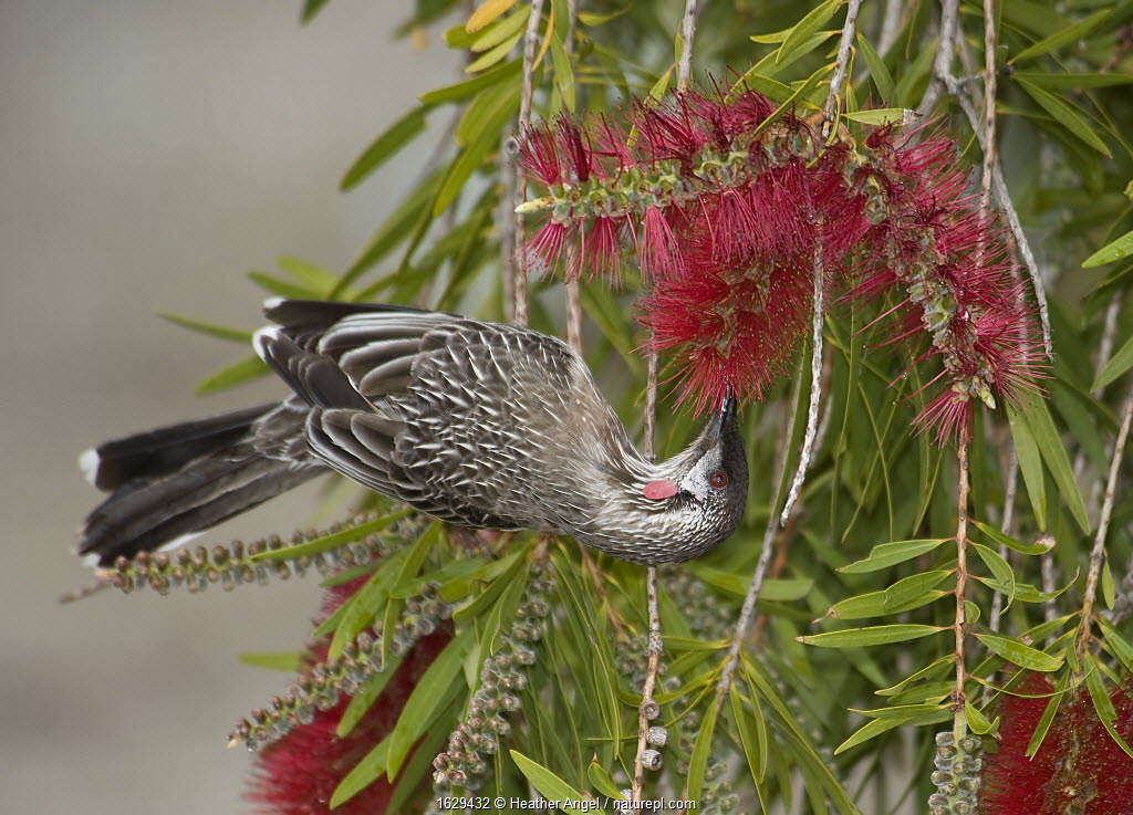 Red wattlebird (Anthochaera carunculata) nectaring on Bottlebrush (Callistemon sp). Bird has brush-tipped tongue. Quaalup Homestead near Fitzgerald River National Park, Western Australia.