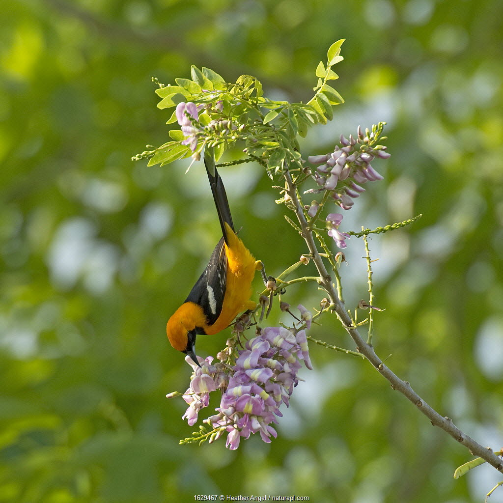 Altamira oriole (Icterus gularis) nectaring on Quickstick / Mother of cocoa tree (Gliricidia sepium) flower. Chiapas, Mexico.