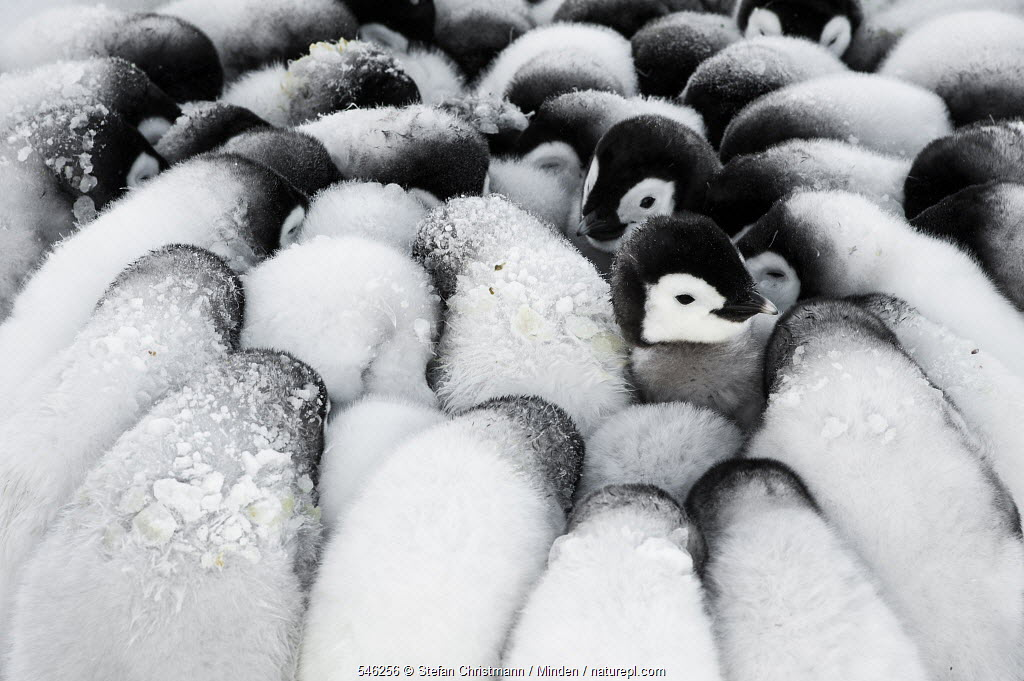 Emperor Penguin (Aptenodytes forsteri) chicks huddling together for warmth, Queen Maud Land, Antarctica. Winner of the Portfolio category of the Wildlife Photographer of the Year Awards 2019.