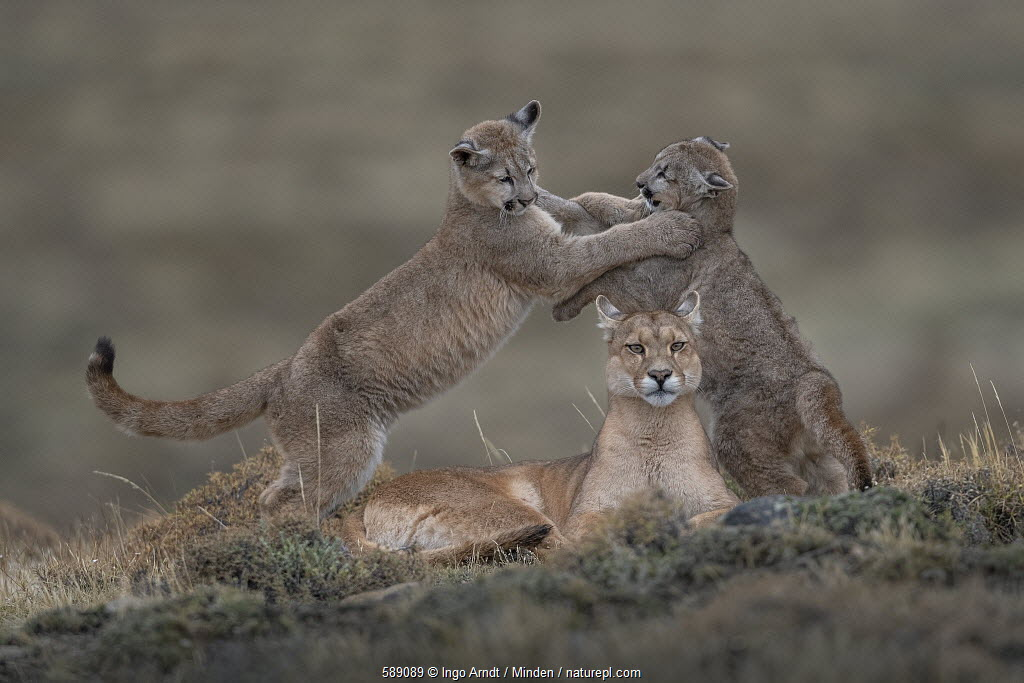Mountain Lion (Puma concolor) mother and four month old cubs playing, Torres del Paine National Park, Patagonia, Chile. Highly commended in the Animal Portraits Category of the Wildlife Photographer of the Year (WPOY) competition 2019.