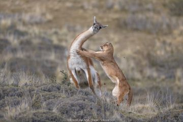 Mountain Lion (Puma concolor) hunting Guanaco (Lama guanicoe) male, Torres del Paine National Park, Patagonia, Chile, sequence 3 of 12. Joint winner of the Mammal Behaviour Category of the Wildlife Photographer of the Year Awards 2019. Winner of the Mammal Category of the GDT European Wildlife Photographer of the Year Awards 2019.
