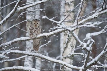 Ural owl (Strix uralensis) perched on snow covered branch, in woodland. winter, Estonia.