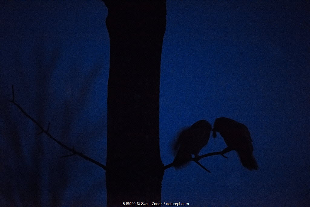 Male Ural owl (Strix uralensis) courtship feeding the female in darkness, Southern Estonia, March.