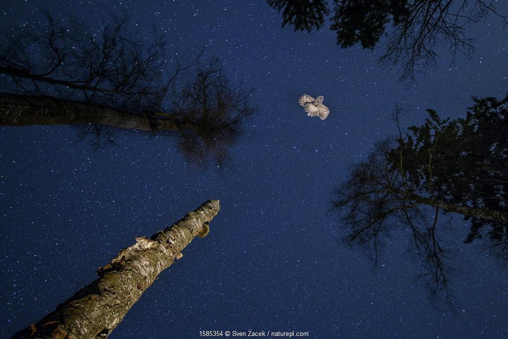 Ural owl (Strix uralensis) in flight, Tartu County, Estonia. March.