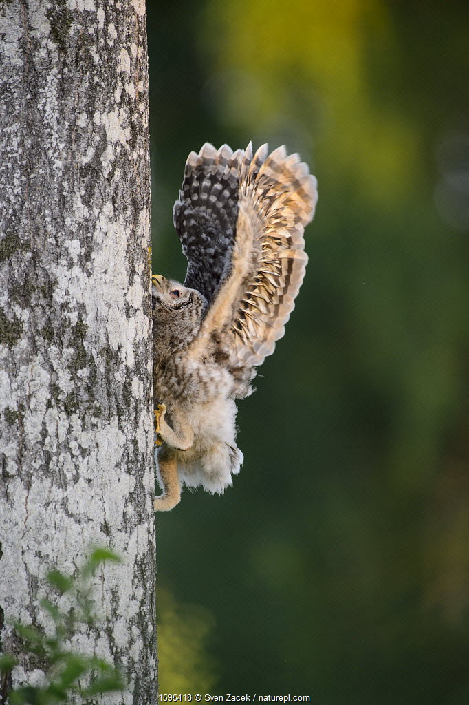 Ural owl (Strix uralensis) chick trying to climb an aspen tree with its beak, talons and wings, Southern Estonia. June.