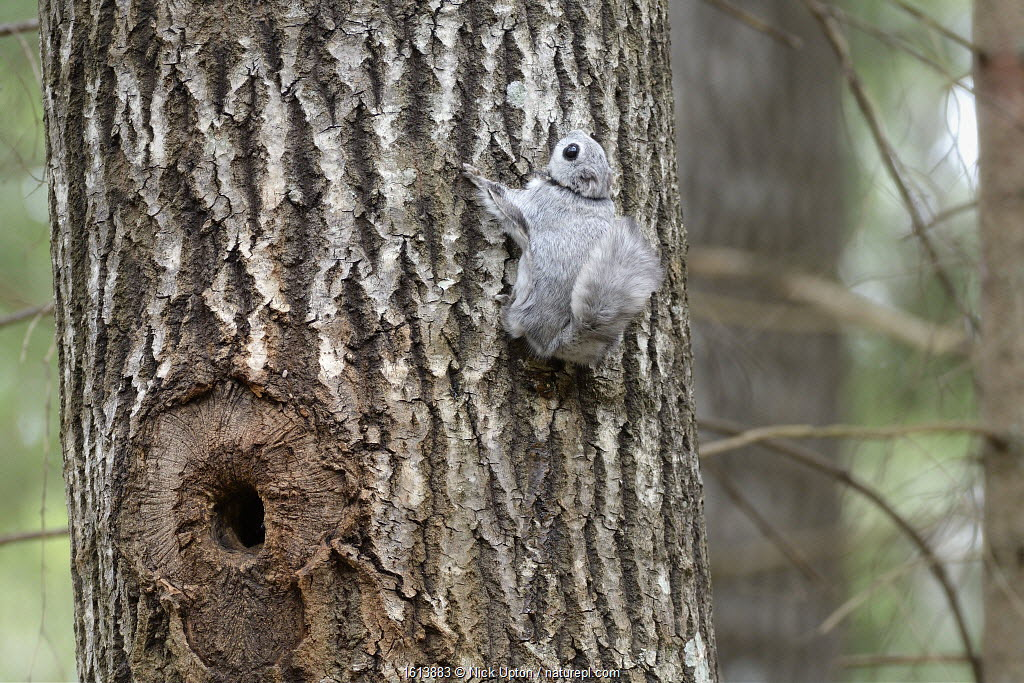 Siberian flying squirrel (Pteromys volans) fitted with radiocollar on Aspen (Populus tremula) trunk near nest hole. Mature mixed forest, near Lisaku, Estonia. April 2018.