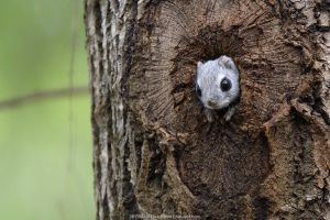 Siberian flying squirrel (Pteromys volans) peering out of nest hole in old Aspen (Populus tremula) tree. Mature mixed forest, near Lisaku, Estonia. April.