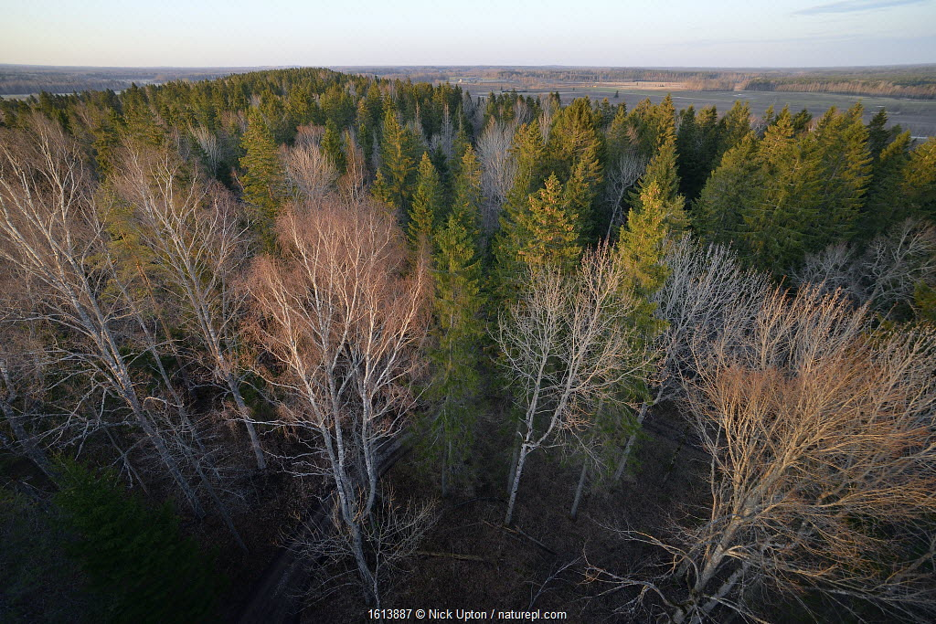 Lisaku Park Forest from above, a mix of mature Fir (Abies sp) trees, Birch (Betula sp) and Eurasian aspen (Populus tremula). Forest host to Siberian flying squirrel (Pteromys volans). Estonia.