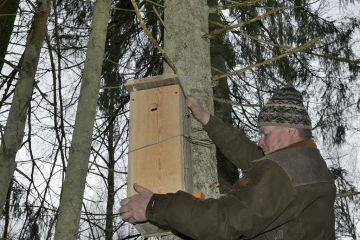 Forester hanging Siberian flying squirrel (Pteromys volans) nest box in mature mixed forest, Estonia. April 2018.