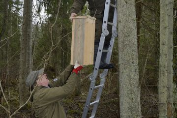 Researchers fitting Siberian flying squirrel (Pteromys volans) nest box to tree. Mature mixed forest, Estonia.