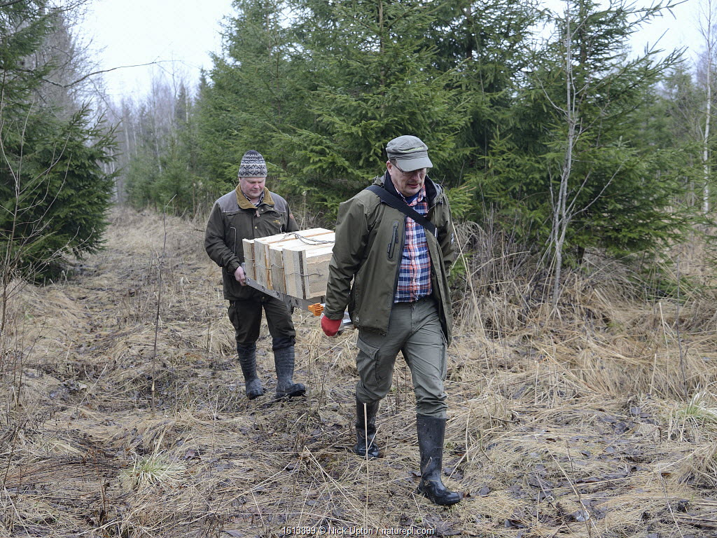 Researchers carrying ladder and nest boxes for Siberian flying squirrel (Pteromys volans). Mature mixed forest, Estonia.