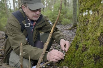 Researcher collecting Siberian flying squirrel (Pteromys volans) droppings below an old deciduous tree with an occupied nest hole. Muraka Forest Reserve, near Lisaku, Estonia.