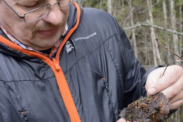 Researcher examining Siberian flying squirrel (Pteromys volans) droppings. Mature mixed forest, near Lisaku, Estonia.