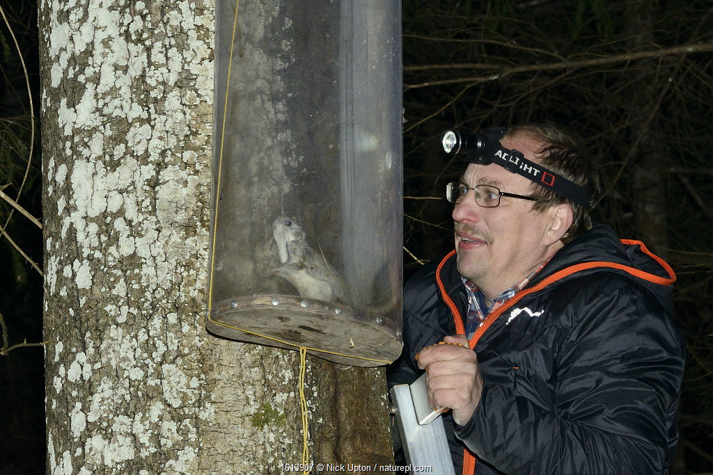 Researcher inspecting a Siberian flying squirrel (Pteromys volans) caught in trap on old Aspen (Populus tremula) tree with occupied nest hole. Muraka Forest Reserve, near Lisaku, Estonia.