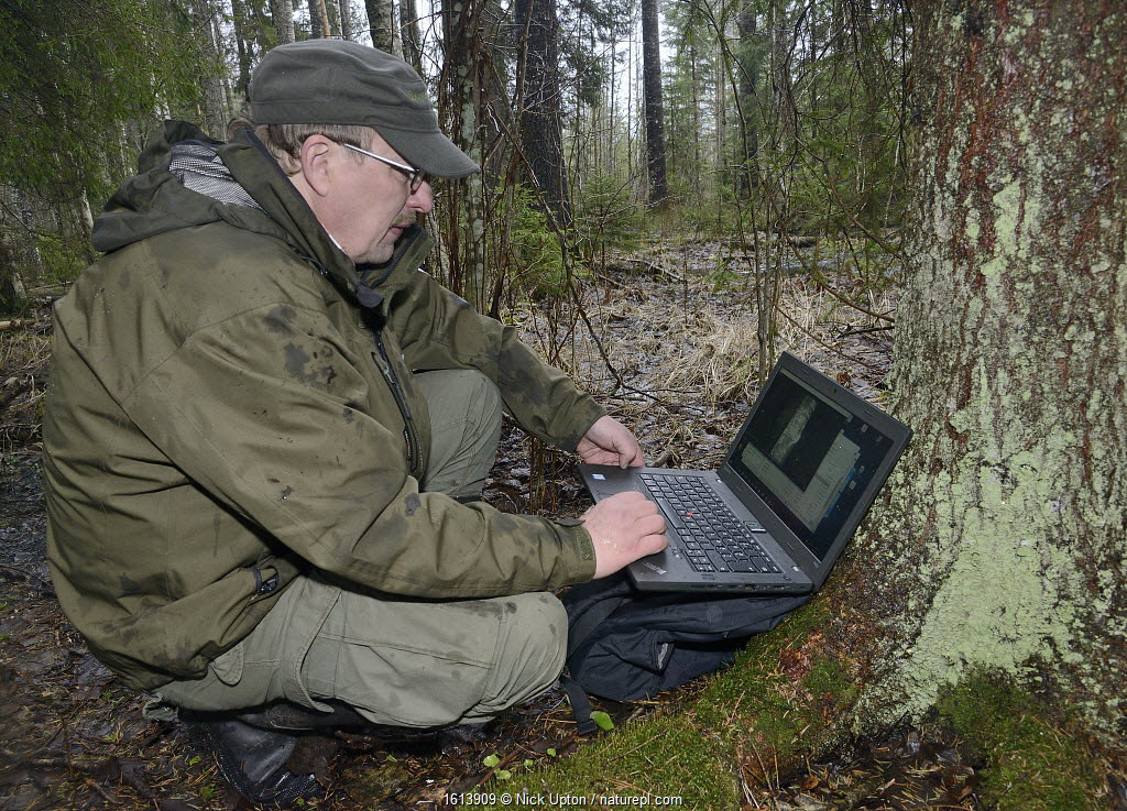 Researcher reviewing trailcam footage on laptop of Siberian flying squirrel (Pteromys volans) emerging from nest hole in Aspen (Populus tremula) tree at night. Mature mixed forest, near Lisaku, Estonia.