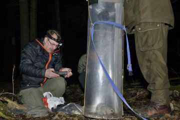 Research team preparing to radio collar Siberian flying squirrel (Pteromys volans) caught in a trap. Muraka Forest Reserve, near Lisaku, Estonia.