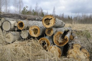 Felled Aspen (Populus tremula) trees with tit nests in hollows. Treeholes suitable for Siberan flying squirrel (Pteromys volans). Near Lisaku, Estonia.
