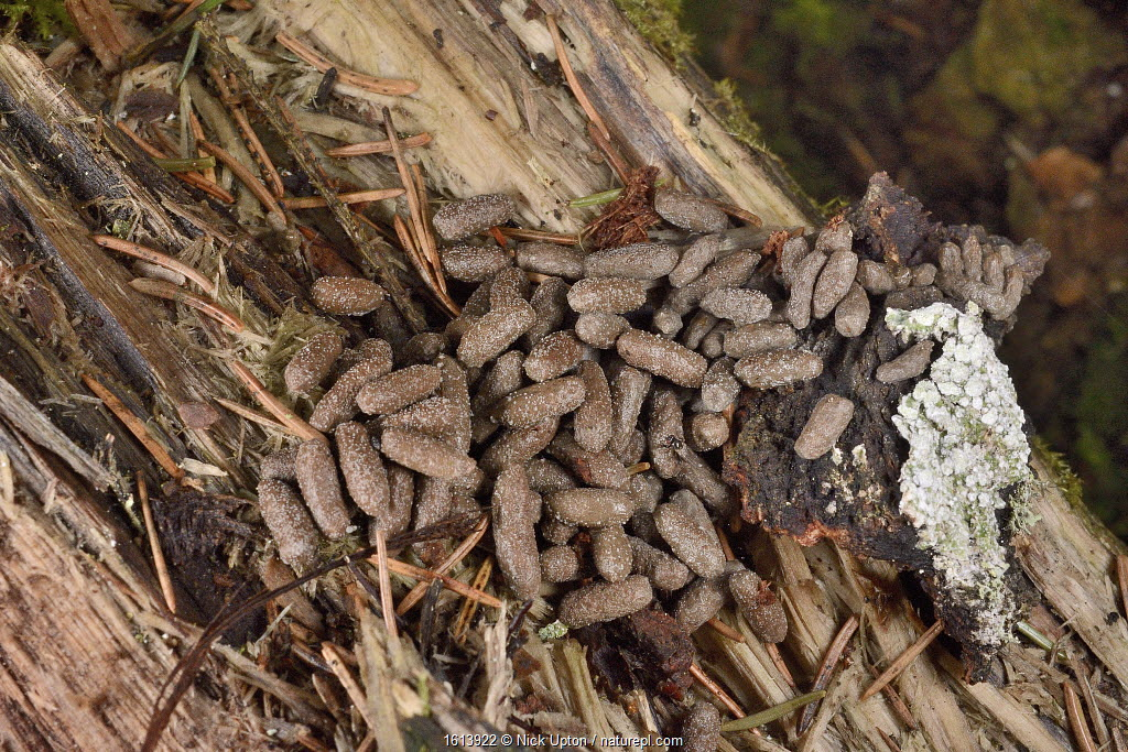 Siberian flying squirrel (Pteromys volans) droppings. Found below an old deciduous tree with nest hole. Muraka Forest Reserve, near Lisaku, Estonia. April.