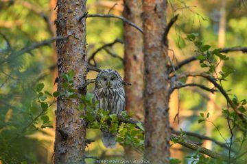 Ural owl (Strix uralensis) perching on Pine (Pinus sp) branch in evening light. Tartumaa, Southern Estonia.