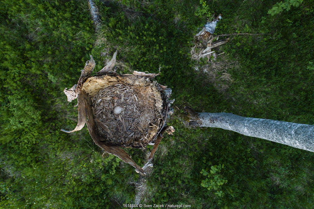 Ural owl (Strix uralensis) nest with egg in old Birch (Betula sp) tree, view from above. Tartumaa, Southern Estonia. May.