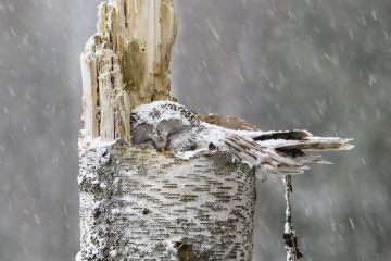 Ural owl (Strix uralensis) female sleeping on nest in falling snow. Tartumaa, Southern Estonia. April.