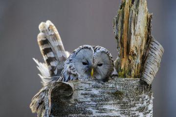 Ural owl (Strix uralensis) female on nest in tree stump. Tartumaa, Southern Estonia. April.