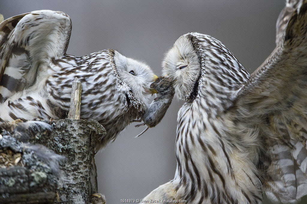 Ural owl (Strix uralensis) male presenting prey to nesting mate. Tartumaa, Southern Estonia. April.