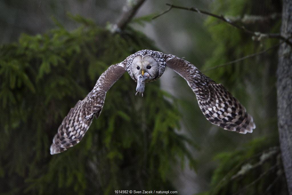 Ural owl (Strix uralensis) in flight with prey for mate in beak. Tartumaa, Southern Estonia. April.