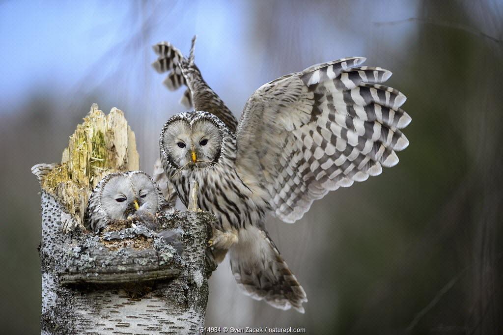 Ural owl (Strix uralensis) female on nest, male landing with twig in beak. Tartumaa, Southern Estonia. April.