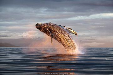North Pacific humpback whale (Megaptera novaeangliae kuzira) breaching at sunset, Kupreanof Island, Frederick Sound, Alaska, USA, July.