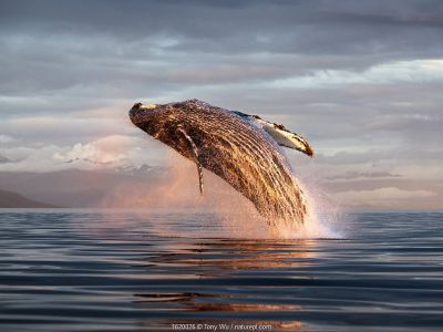 North Pacific humpback whale (Megaptera novaeangliae kuzira) breaching at sunset, Kupreanof Island, Frederick Sound, Alaska, USA, July.